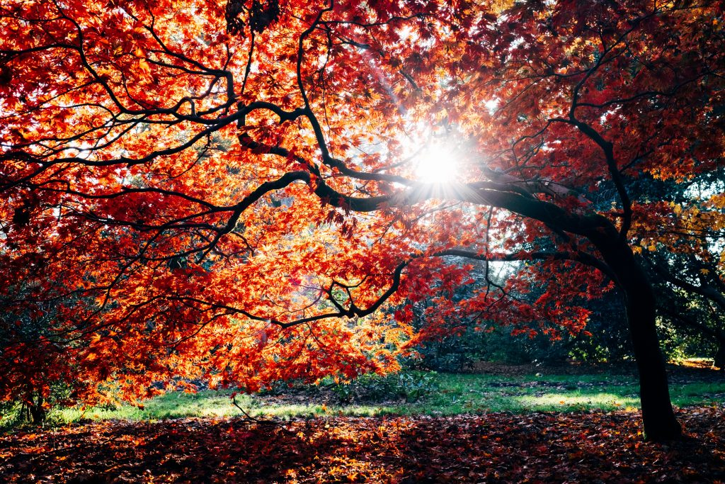 The sun shining through a tree with red leaves