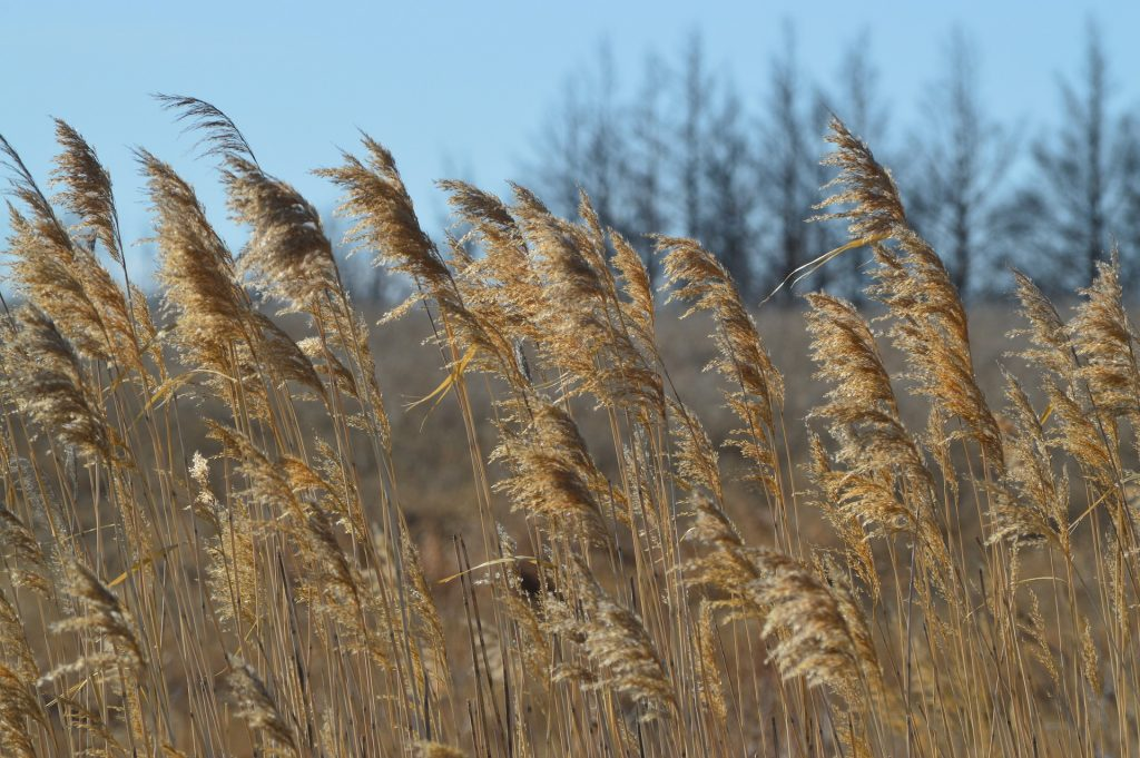 prairie grass blowing in the wind